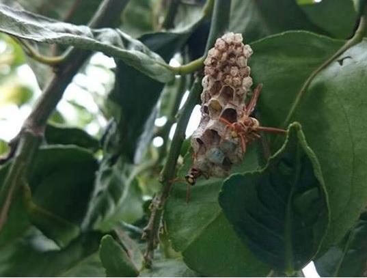 有機檸檬園蜂巢
